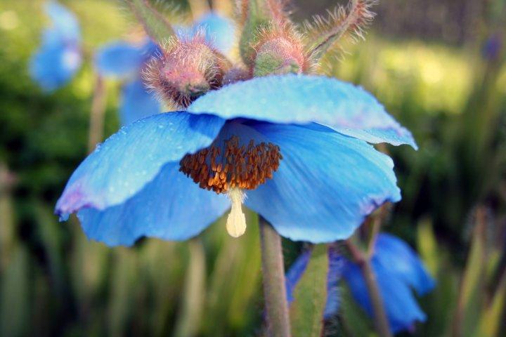 Blå valmuesøster (Meconopsis betonicifolia) er en favoritt i det nord-norske klimaet. Foto: Skulgam gartneri
