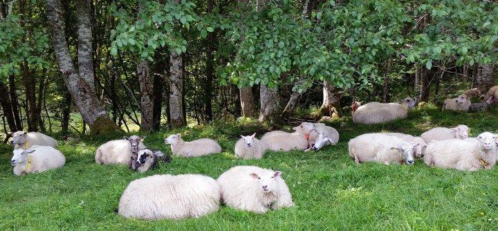 Sauer hviler sammen på innmarksbeite. Foto: Peggy Haugnes