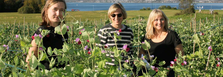 De tre NIBIO-forskerne Ewelina Wojciechowska, Inger Martinussen og Ingunn Vågen i ertefeltet på Holt i Tromsø. . Foto: Anne Linn Hykerud