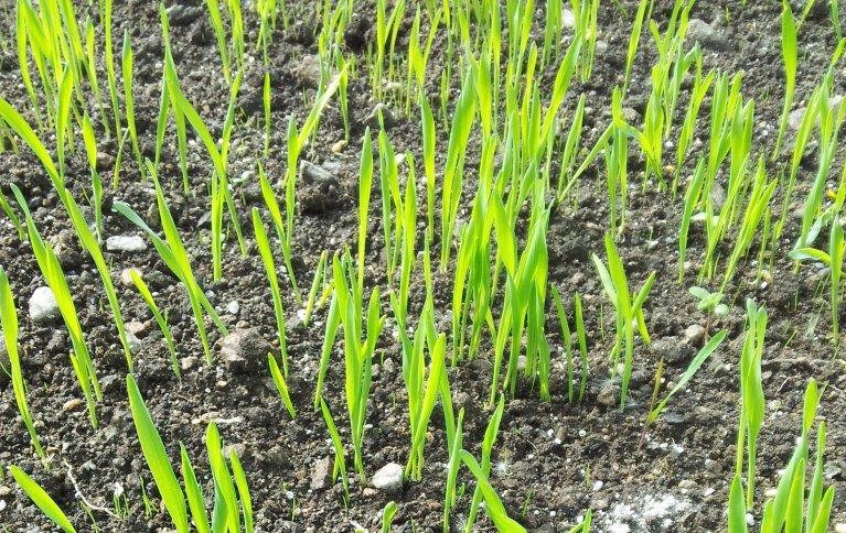 Kornspirene utvikler seg mye raskere enn gras og kløver og konkurrerer godt med ugraset. Legg merke til de bittesmå grasspirene. Foto: Maud Grøtta