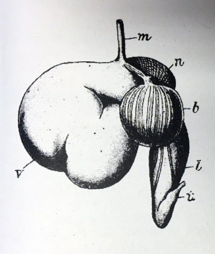 Magen hos drøvtyggere (m- spiserøret avslutning, v - vomma, n - nettmagen, b - bladmagen, l - løypemagen, t - tynntarmens begynnelse).