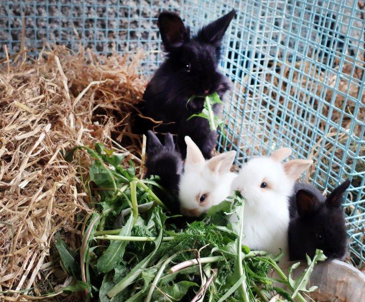 Kaniner elsker løvetann. Foto: Juni Rosann Johanssen