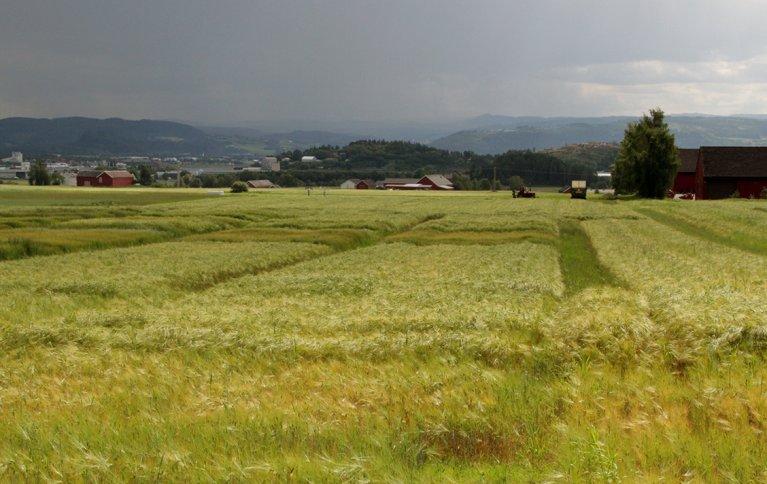 Forsøksfelt med korn på Kvithamar. Foto: Anita Land