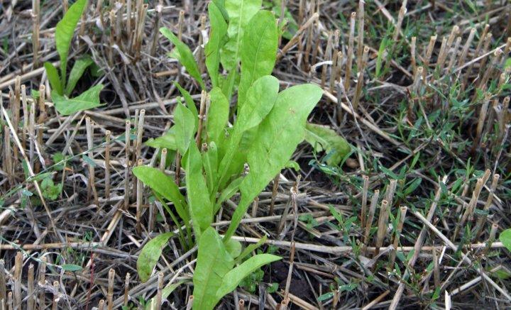 Sikori er en flerårig  plante som lett kan bli et nytt rotugras på garden.  Den er en god jordløsner. Foto: Kari Bysveen