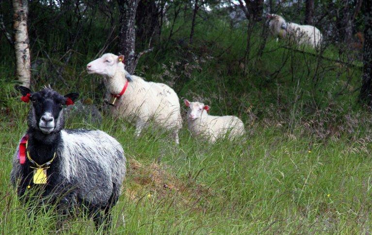 Ved å ta i bruk nedlagte beiteområder kunne arealer hjemme på garden gi grunnlag for bedre grovfôrkvalitet ved tidligere slått. Foto: Anita Land