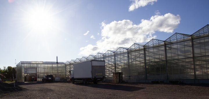 Ved Kjær Gartneri har de til sammen 4 000 kvadratmeter drivhus med økologiske tomater og agurker. Foto: Anita Land