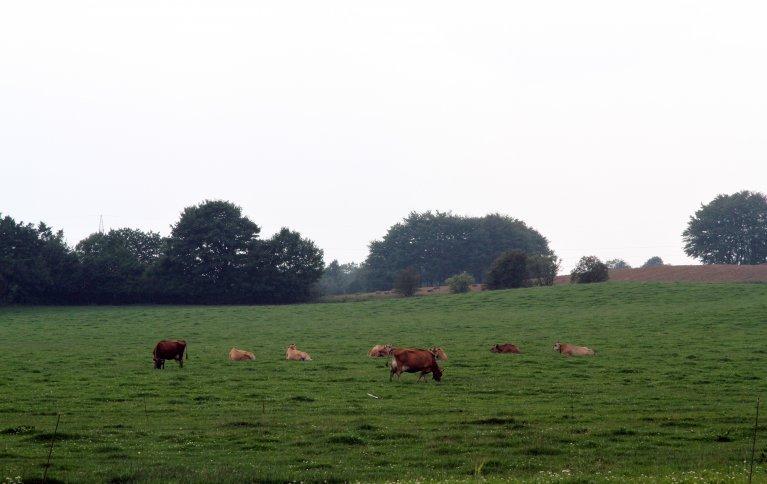 Resultater fra Danmark viser at økologiske melkeproduksjonsbruk har mindre nitrogenutvasking.ra økologiske og konvensjonelle husdyrløse bruk i gjennomsnitt er like. Foto: Anita Land