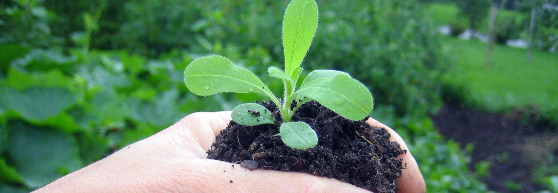 Klorofyllet brytes ned dersom planta får for lite magnesium. Det viktigaste tiltaket for å betre utnyttinga av nitrogen og unngå tap er å sørge for ar det finst planter i best mogeleg vekst størst mogeleg del av året. Foto: Reidun Pommereche