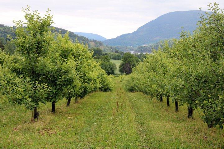 Det er fem meters radavstand og tre meter mellom trærne i raden. Trærne er mye større enn i tettplantinger. Foto: Ole Engen