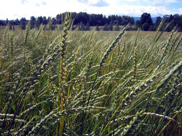 Som dekkvekst kan man så korn eller ei grønfôrblanding. Både bygg, havre og hvete kan brukes. Foto: Maud Grøtta