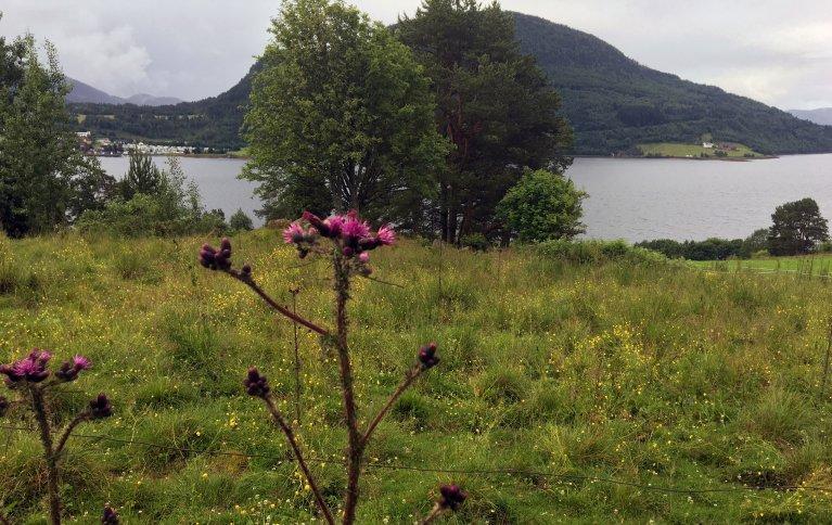 Myrtistelplanter forekommer ofte i beitemark. Foto: Anita Land