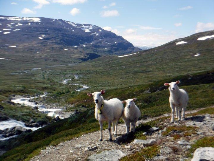 Sauer på fjellbeite. Foto: Grete Lene Serikstad