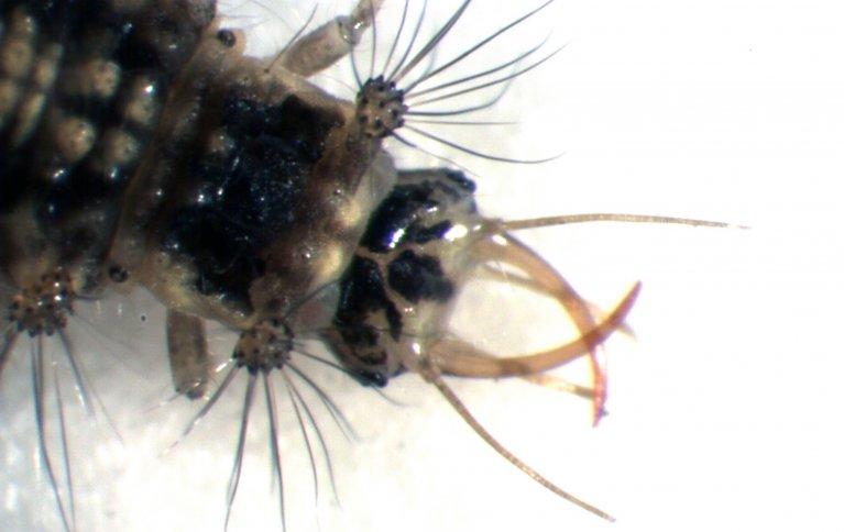 Larvene til guløye  kalles bladlus-løver, fordi bladlus er den foretrukne menyen. Foto: Reidun Pommereche
