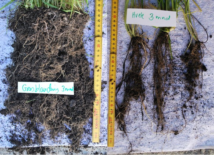 Rotutvikling og aggregering av jord på og rundt røttene til tre måneder gamle planter. Engfrøblanding med rød- og kvitkløver og grasartene timotei, engsvingel og engrapp til venstre, hveteplanter til høyre. Planterøtter bidrar til at karbonholdige stoffer kommer ned i jorda, samt at jordaggregater med karbon ikke vaskes så lett ut med regnvann eller ved erosjon. Mikrobiologi i rotsonen er også viktig for å holde jordpartiklene sammen og for karbonflyten i jord. Foto:  Reidun Pommeresche