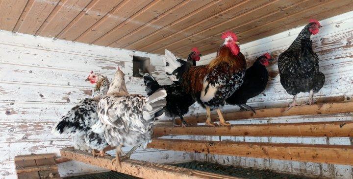 Hobbyhøns som står på vagler. Foto: Juni Rosann E. Johanssen