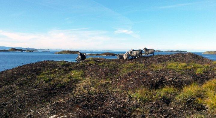 Sauene trives godt i brannflatene. Her fra Småge i Møre og Romsdal. Foto: Maud Grøtta