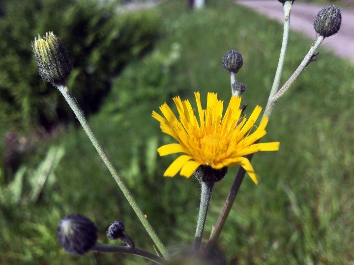 Dylle bør bekjempes om våren. Foto: Anita Land