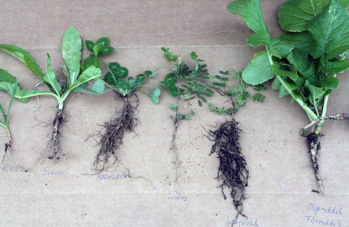Planta i midten er i luserne – sådd 23.mai – og fotografert 16.oktober. Planta er godt etablert, men man kan ikke forvente at denne løser pakka jord året den såes